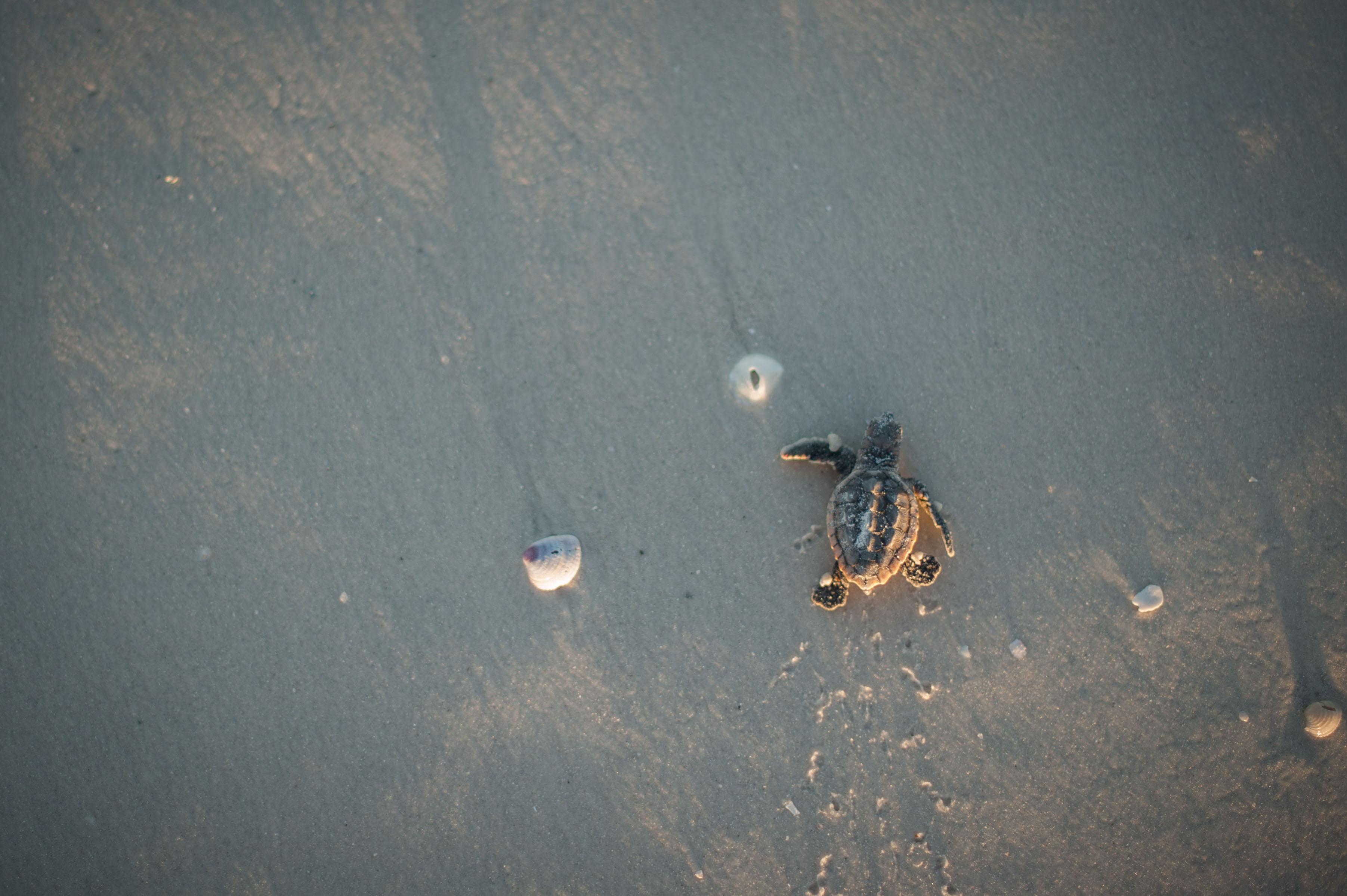 hatchling crawling towards water